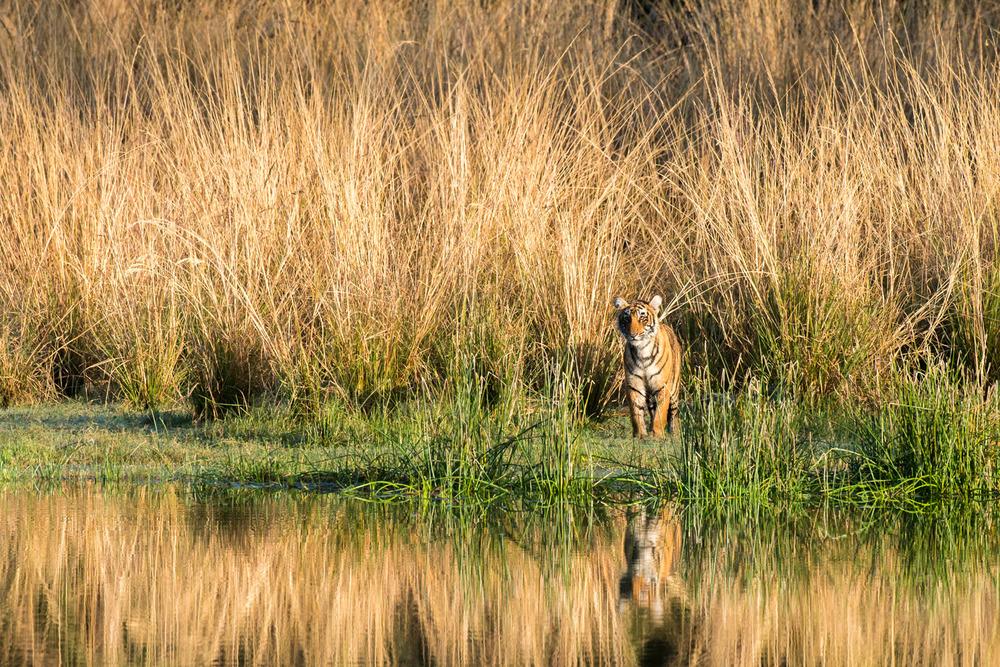 Bengal tiger cub at edge of Lake Rajbagh, Ranthambhore National Park, Rajasthan, India