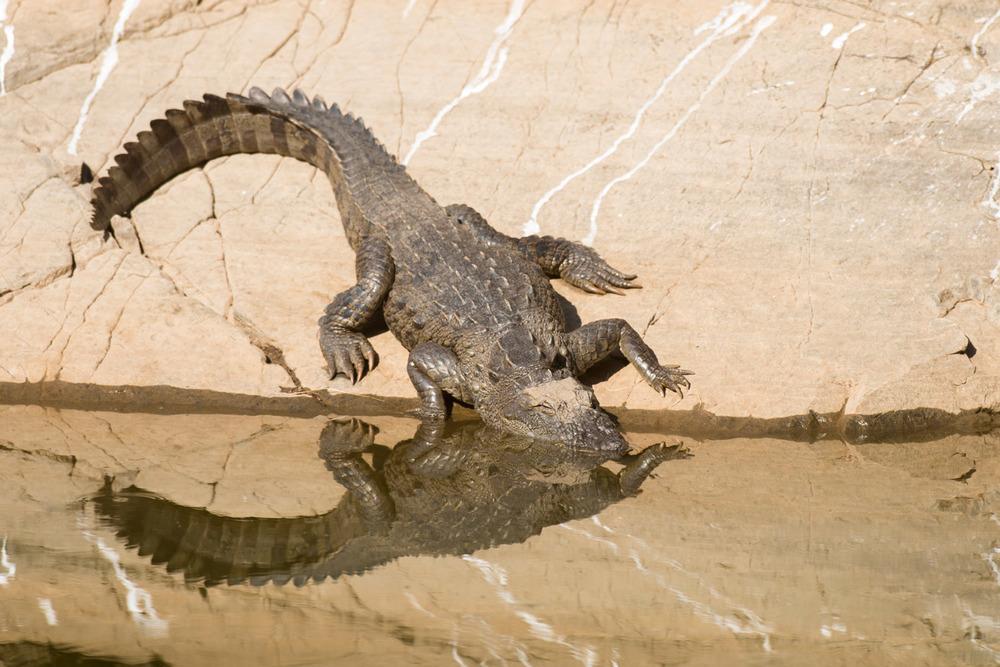 Indian 'mugger' crocodile sunbathing at edge of pool, Ranthambhore National Park, Rajasthan, India