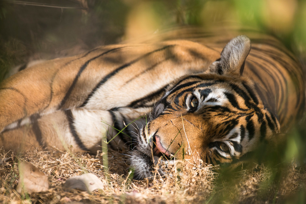 Bengal tiger lying down in forest, Ranthambhore National Park, Rajasthan, India