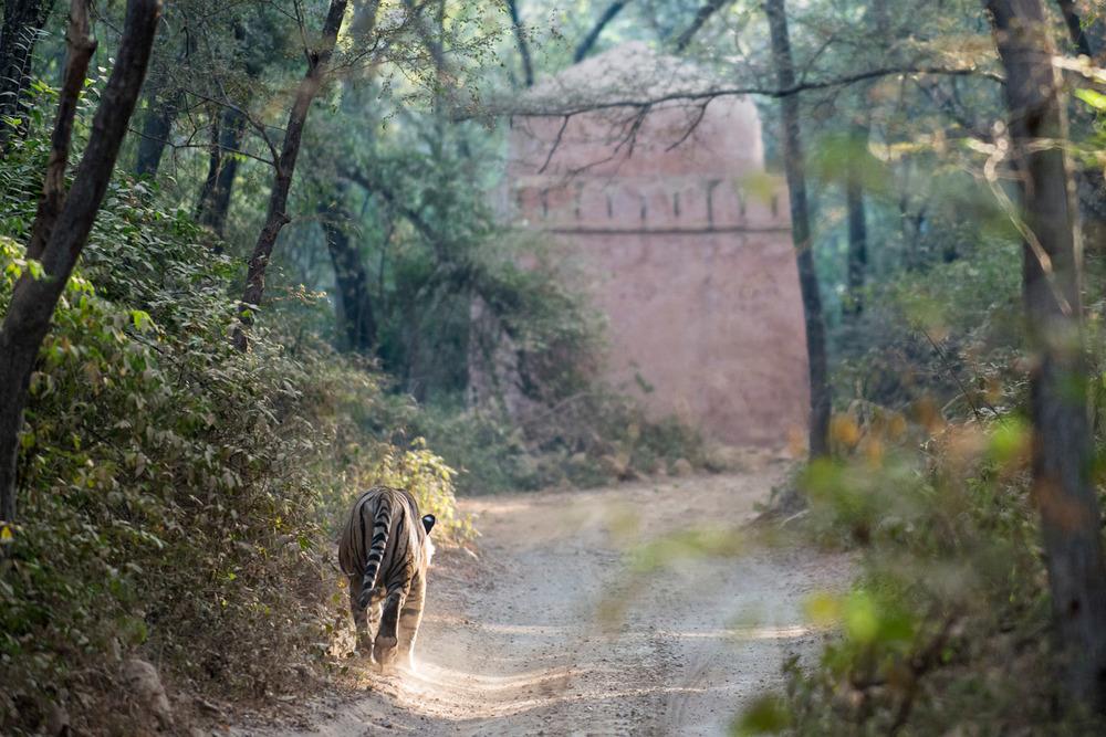 Bengal tiger walking along forest track towards sacred tomb, Ranthambhore National Park, Rajasthan, India