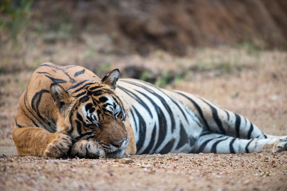 Bengal tiger sleeping on track, Ranthambhore National Park, Rajasthan, India