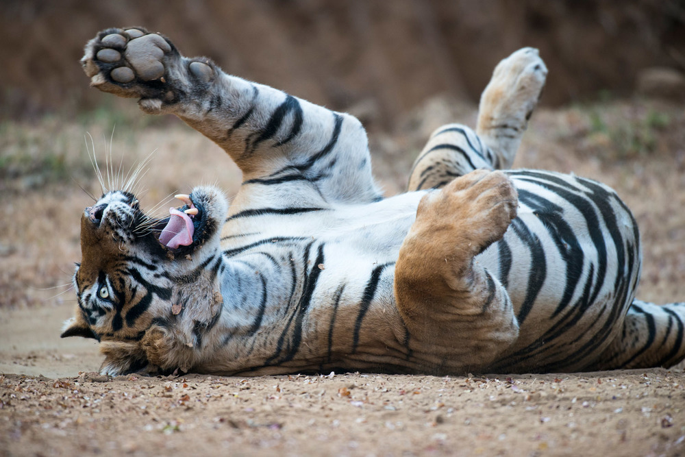 Bengal tiger rolling on back, Ranthambhore National Park, Rajasthan, India