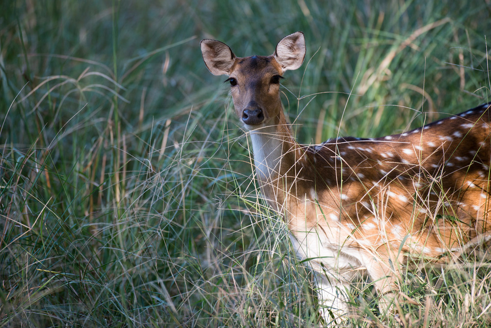 Chital/spotted deer in long grasses, Ranthambhore National Park, Rajasthan, India