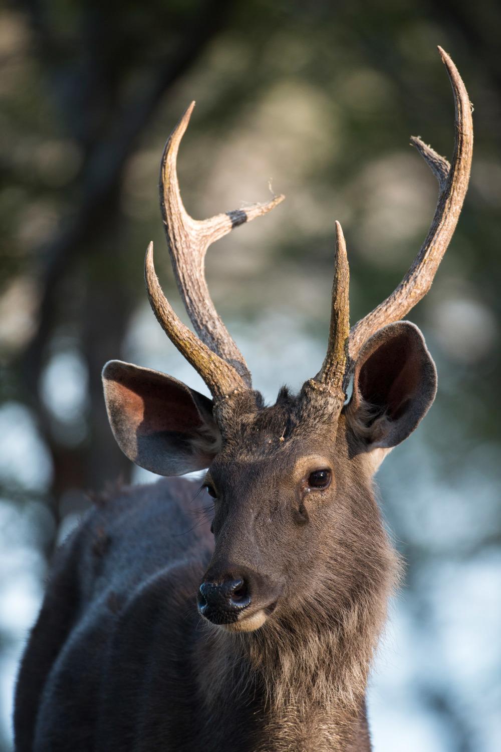 Sambar stag portrait, Ranthambhore National Park, Rajasthan, India