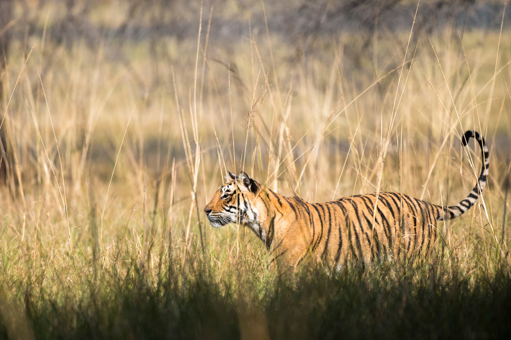 Bengal tigress long grasses, Ranthambhore National Park, Rajasthan, India