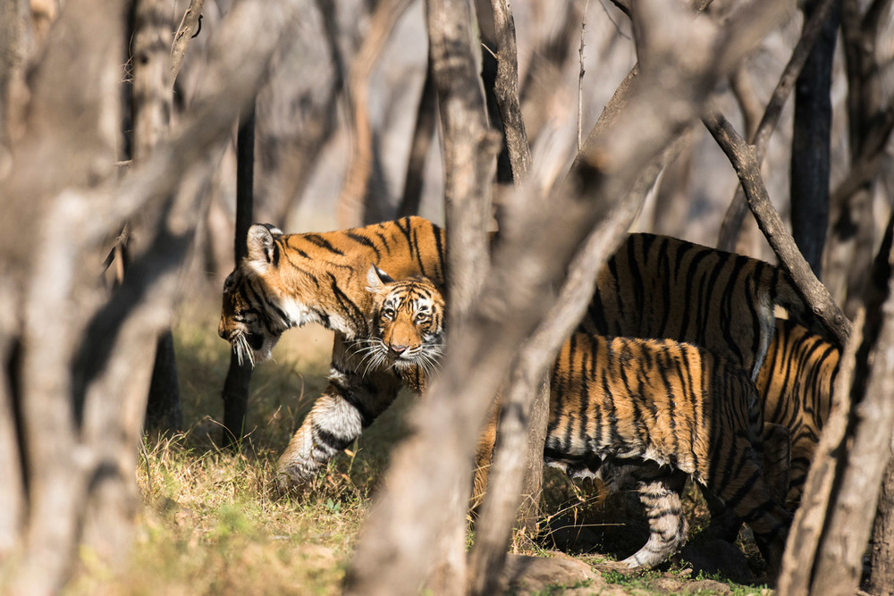 Bengal tiger mother with cubs in dhok forest, Ranthambhore National Park, Rajasthan, India