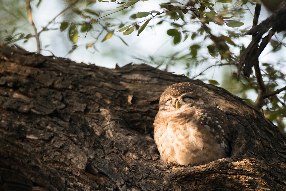 Spotted owlet sleeping in tree hollow, Ranthambhore National Park, Rajasthan, India