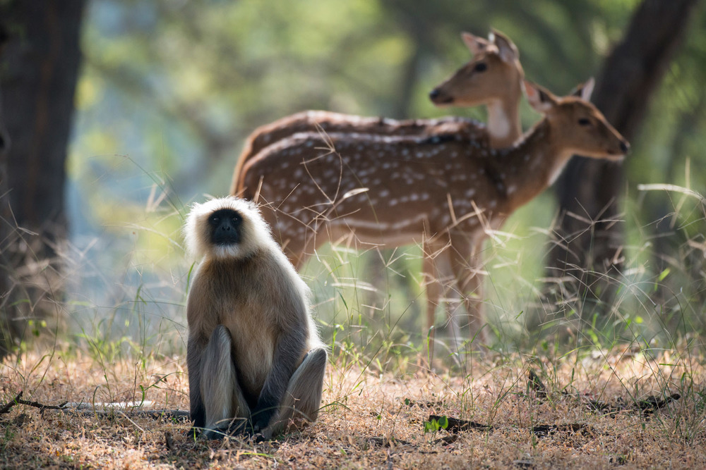 Hanuman langur monkey and chital/spotted deer, Ranthambhore National Park, Rajasthan, India