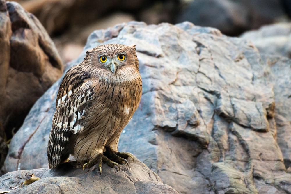 Brown fish-owl on rock, Ranthambhore National Park, Rajasthan, India