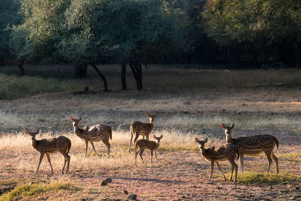 Chital/spotted deer in forest clearing, Ranthambhore National Park, Rajasthan, India