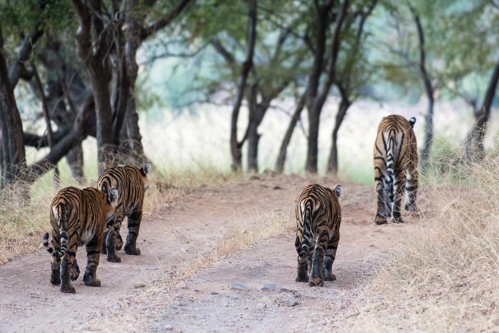 Bengal tiger family walking along track, Ranthambhore National Park, Rajasthan, India