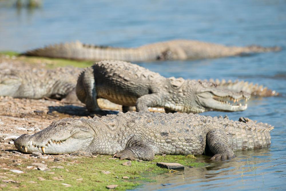 Indian 'mugger' crocodiles sunbathing at edge of Lake Rajbagh, Ranthambhore National Park, Rajasthan, India