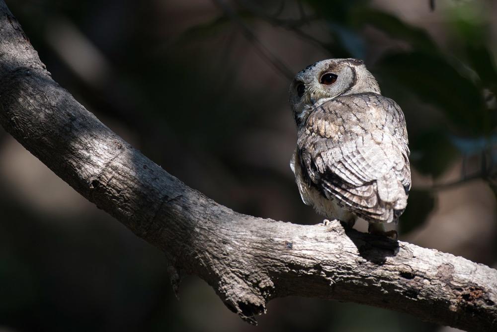 Indian scops owl, Ranthambhore National Park, Rajasthan, India