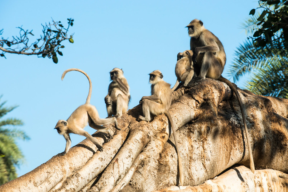 Hanuman langur monkey family in Indian banyan tree, Ranthambhore National Park, Rajasthan, India