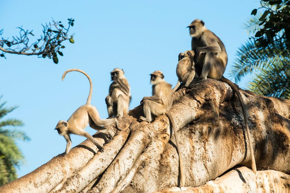 Hanuman langur monkey family in Indian banyan tree, Ranthambhore National Park, Rajasthan, India
