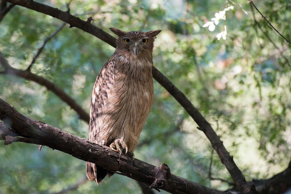 Brown fish-owl, Ranthambhore National Park, Rajasthan, India