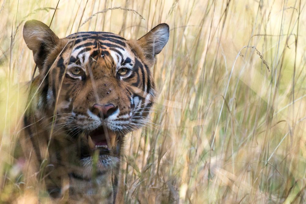 Bengal tiger in long grasses, Ranthambhore National Park, Rajasthan, India