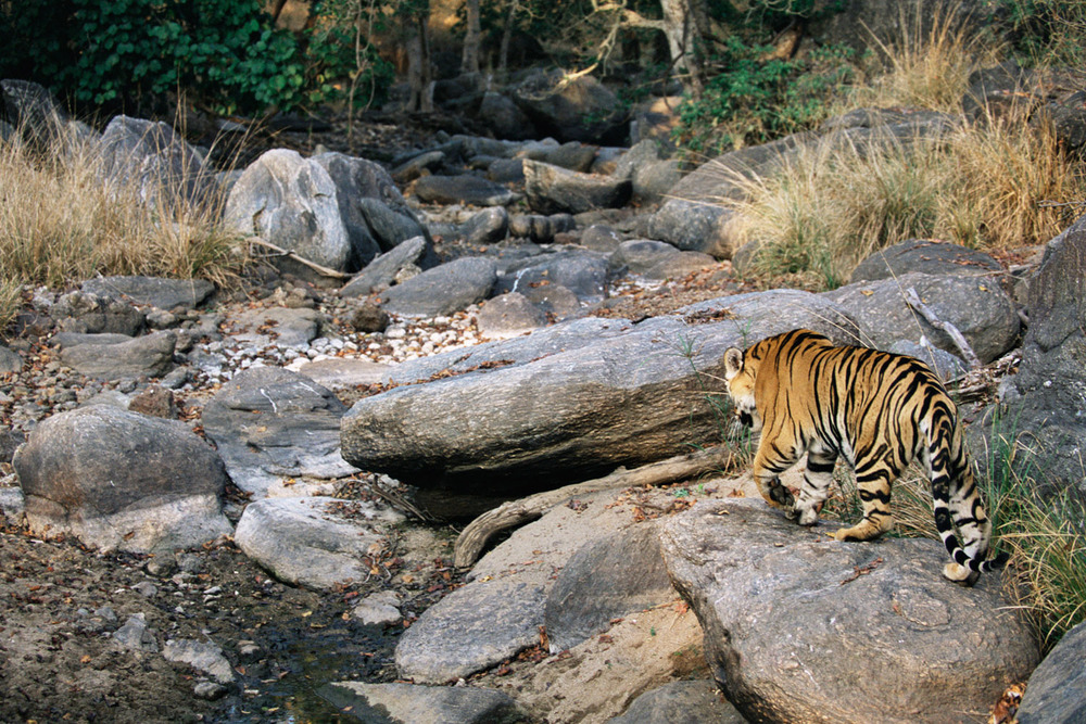 Bengal tiger walking down rocky gully, Kanha National Park, Madhya Pradesh, India
