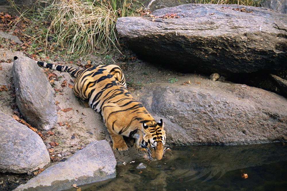 Bengal tiger preparing to drink from pool, Kanha National Park, Madhya Pradesh, India