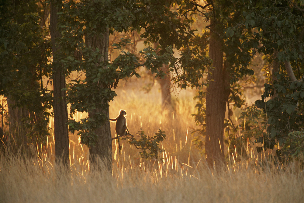 Hanuman langur monkey on look-out in sal forest, Kanha National Park, Madhya Pradesh, India