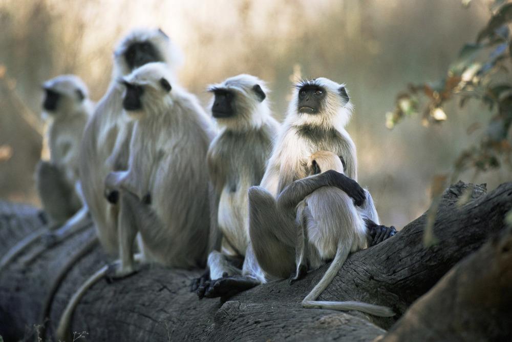 Hanuman langur monkeys resting on log, Kanha National Park, Madhya Pradesh, India