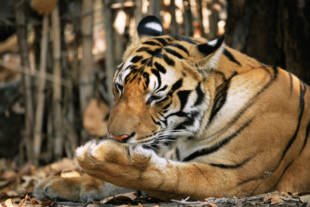 Bengal tiger licking paw, Kanha Tiger Reserve, Madhya Pradesh, India