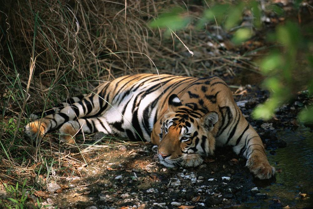 Bengal tiger resting by stream, Kanha National Park, Madhya Pradesh, India