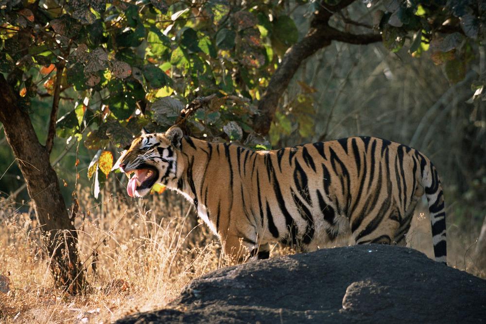 Bengal tiger displaying 'flehman' behaviour, Kanha National Park, Madhya Pradesh, India