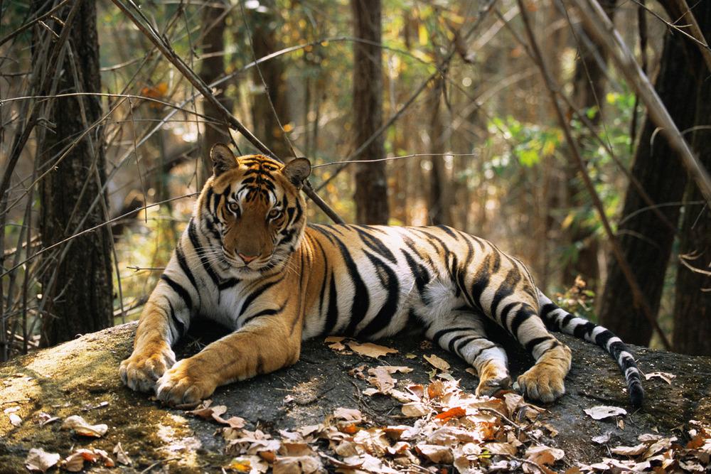 Bengal tiger resting on rock, Kanha National Park, Madhya Pradesh, India