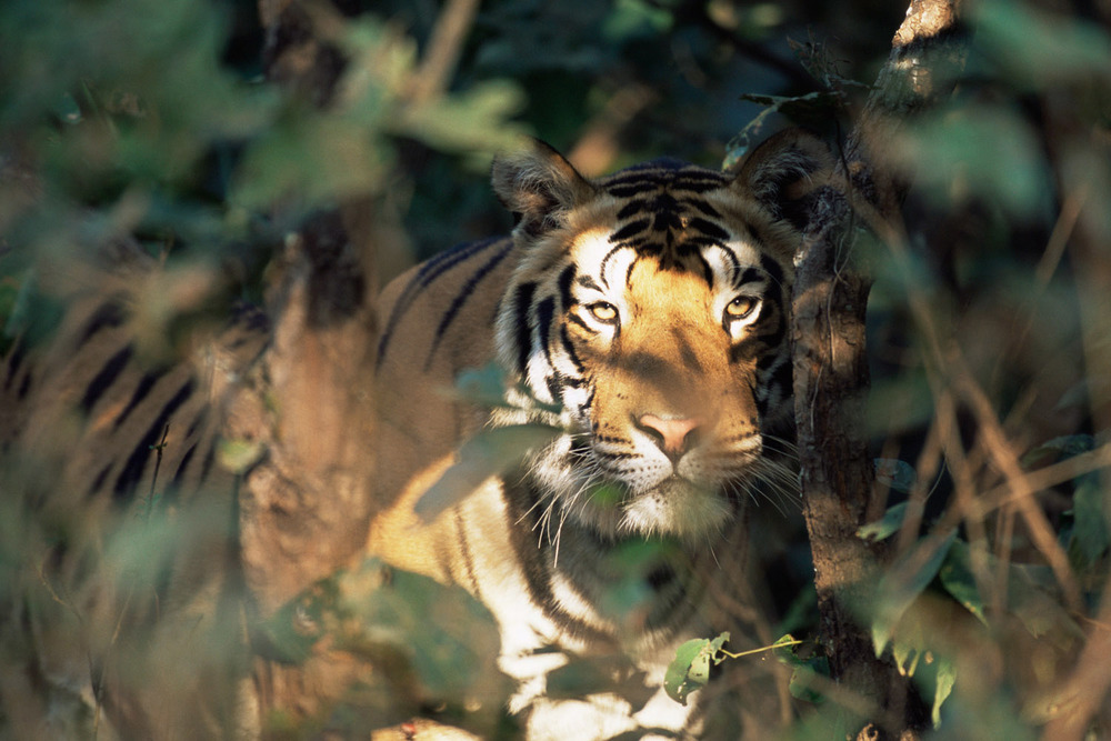 Bengal tiger peering through foliage, Kanha National Park, Madhya Pradesh, India