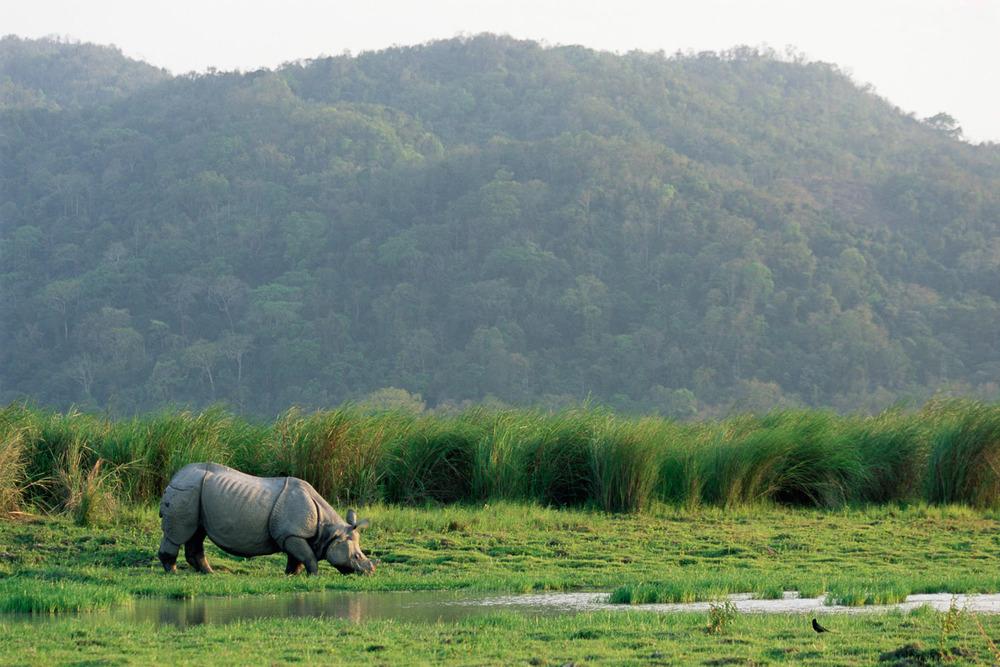 Indian rhinoceros grazing, Kaziranga National Park, Assam, India