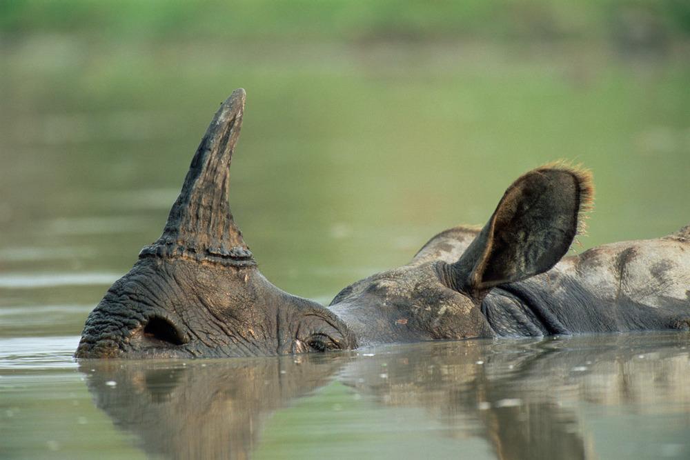 Indian rhinoceros wallowing, Kaziranga National Park, Assam, India
