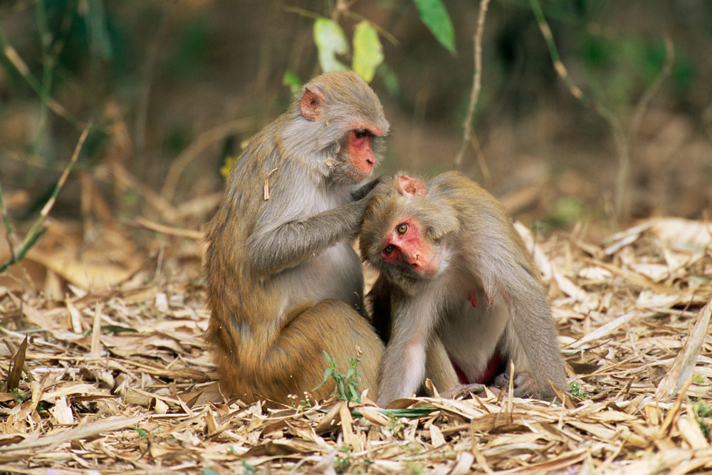 Rhesus macaques grooming, Kaziranga National Park, Assam, India
