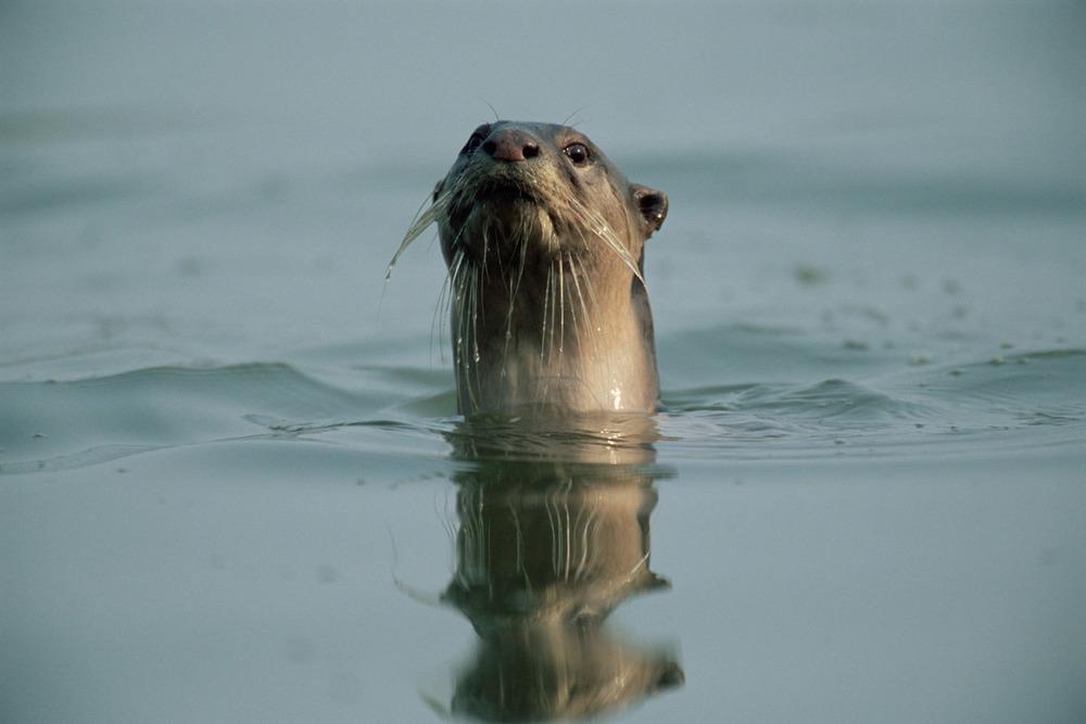 Smooth-coated otter swimming, Kaziranga National Park, Assam, India