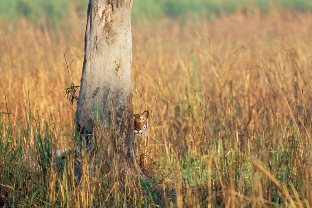 Bengal tiger looking around tree, Kaziranga National Park, Assam, India