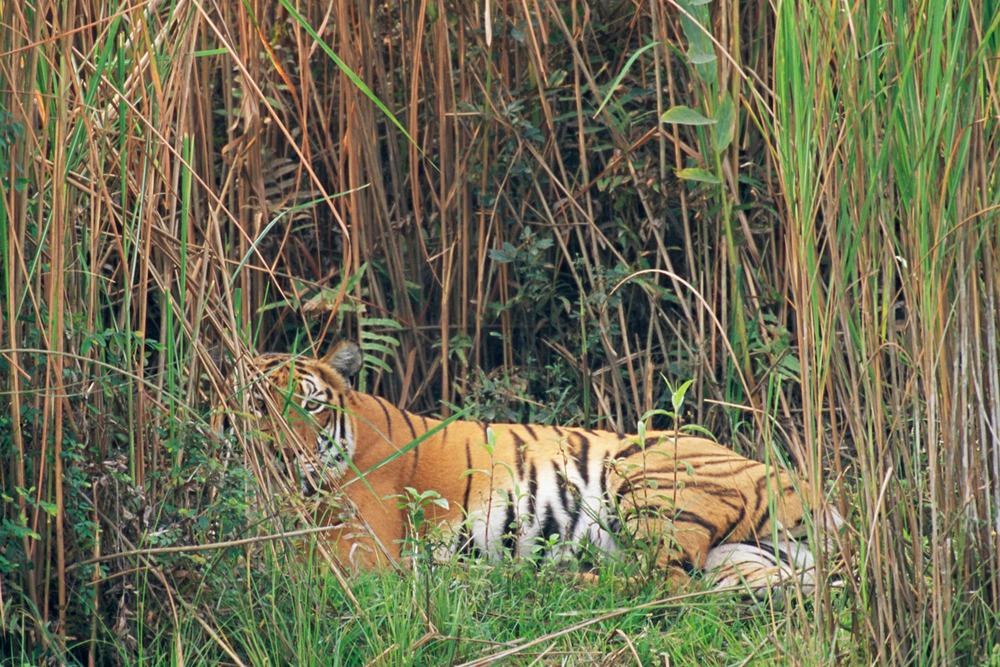Bengal tiger resting in 'elephant' grasses, Kaziranga National Park, Assam, India