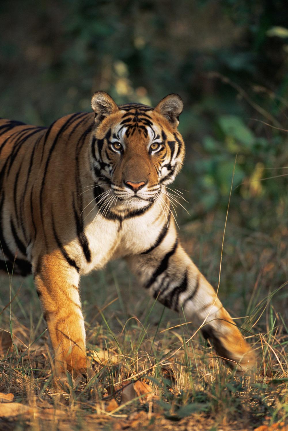 Bengal tiger portrait, Kanha National Park, Madhya Pradesh, India