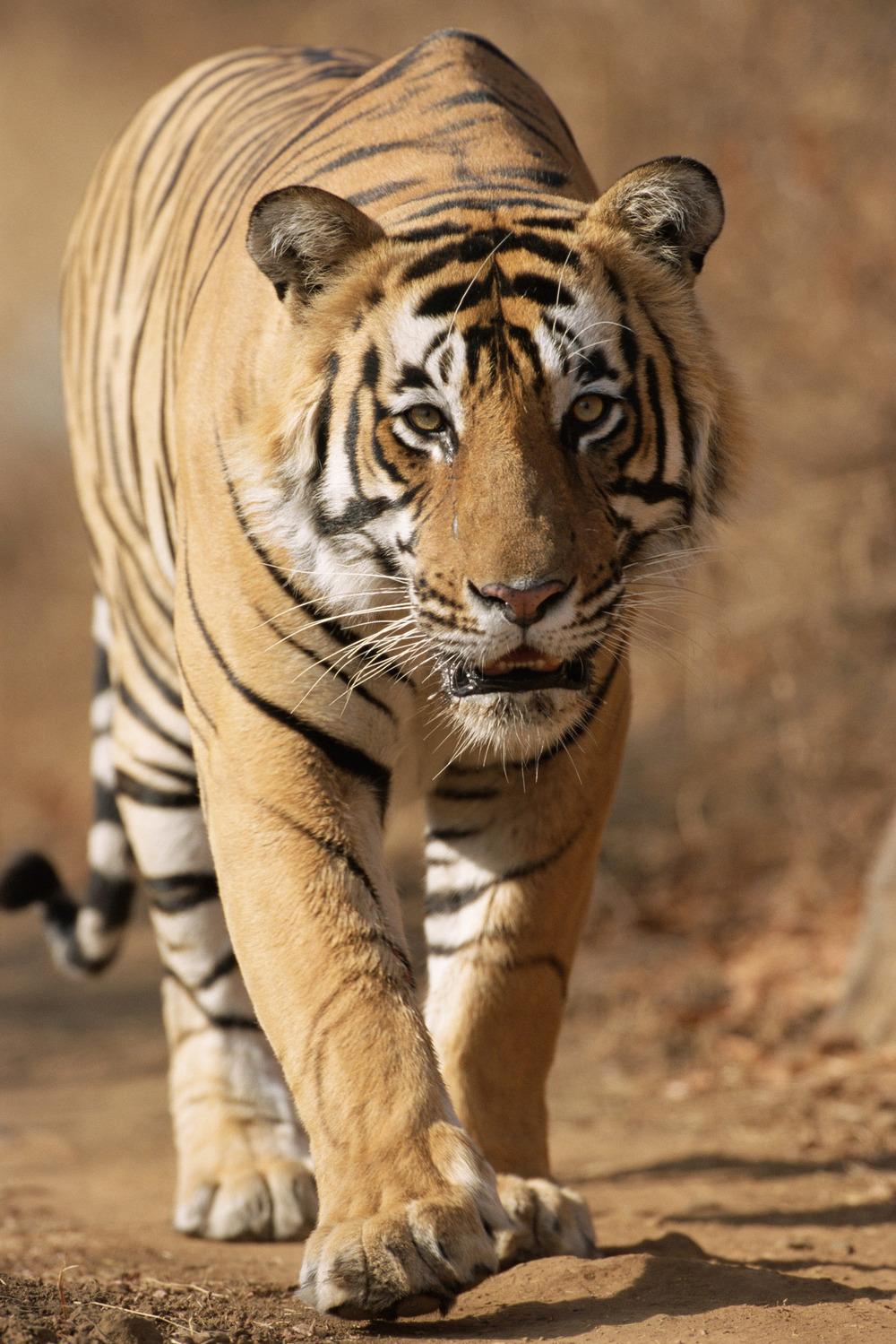 Bengal tiger approaching, Ranthambhore National Park, Rajasthan, India