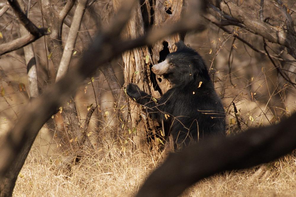 Sloth bear foraging, Ranthambhore National Park, Rajasthan, India