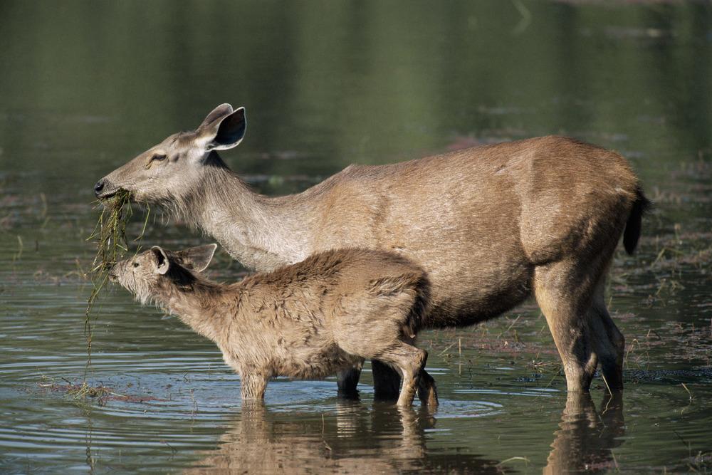 Sambar deer feeding with young, Ranthambhore National Park, Rajasthan, India