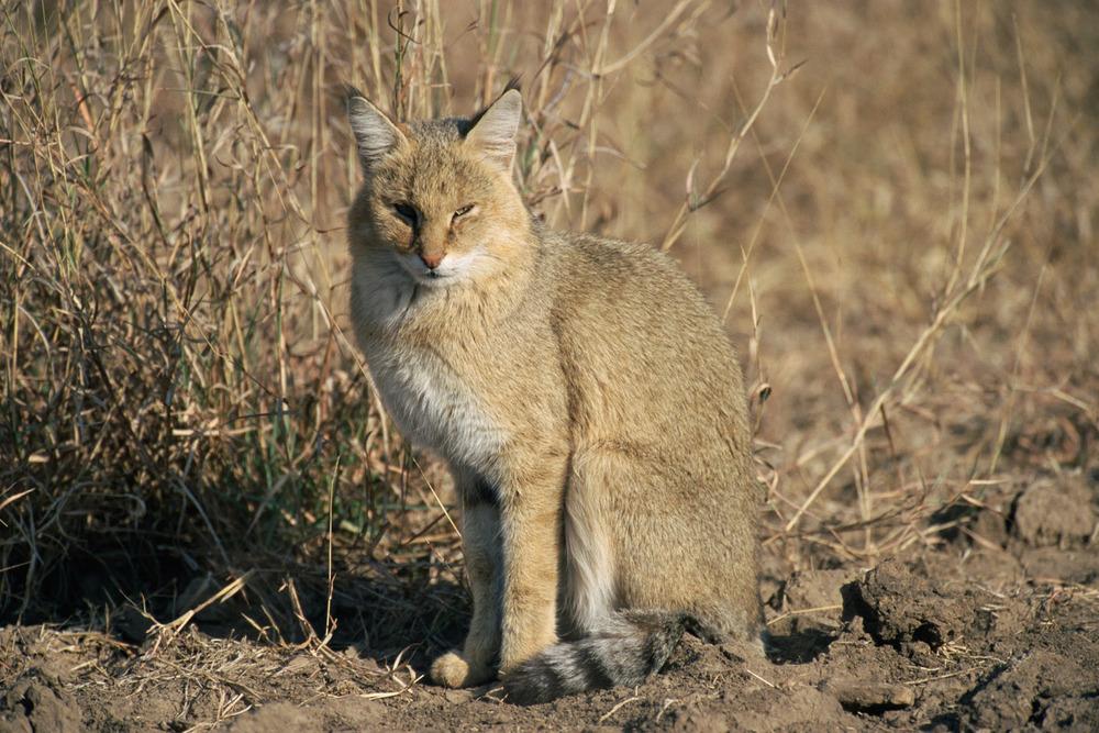 Jungle cat, Ranthambhore National Park, Rajasthan, India