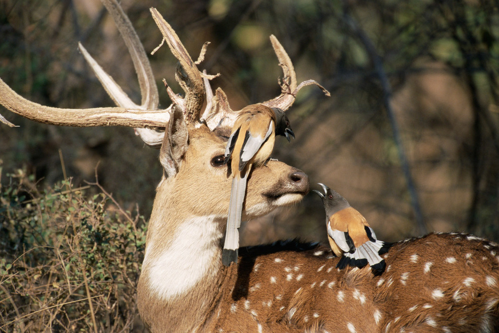 Rufous tree-pies on chital/spotted deer, Ranthambhore National Park, Rajasthan, India