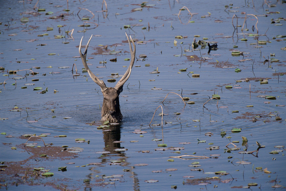 Sambar stag in Lake Ragbagh, Ranthambhore National Park, Rajasthan, India