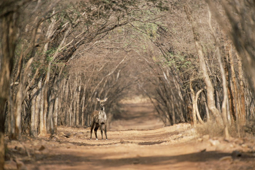 Nilgai on forest track, Ranthambhore National Park, Rajasthan, India