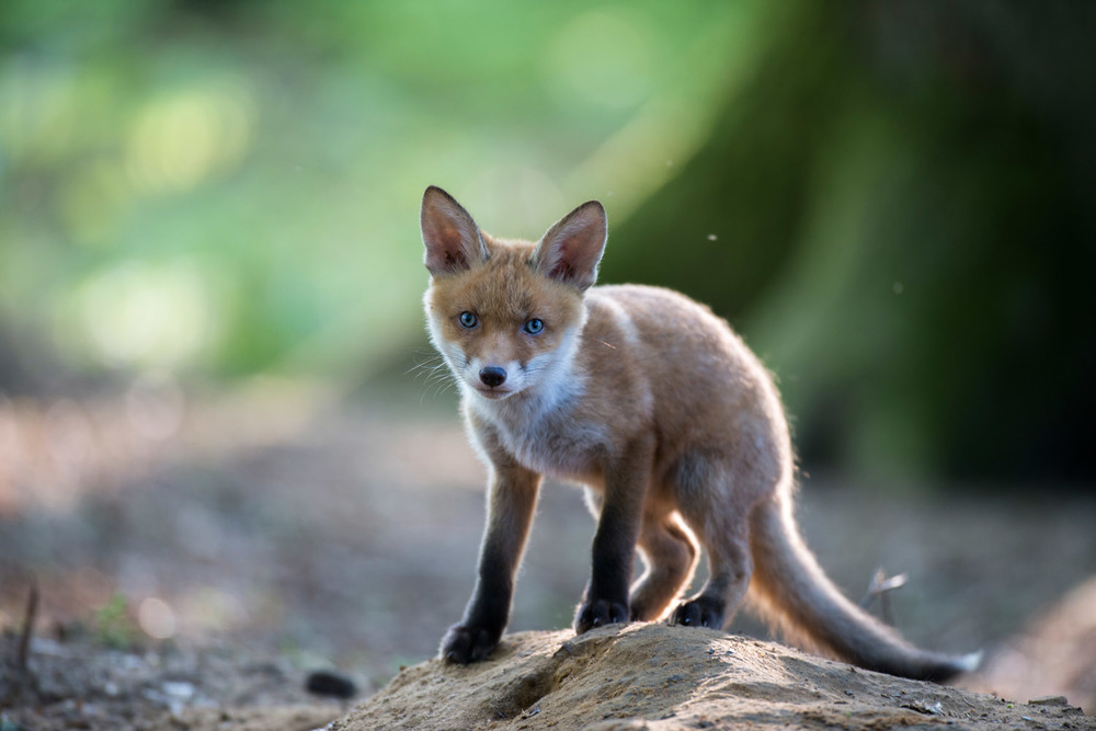 Red fox cub at den, Ashdown Forest, Sussex Weald, England