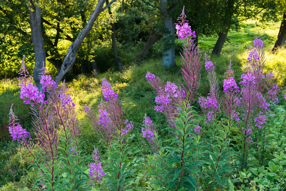 Rosebay willowherb and oak woods, Sussex Weald, England
