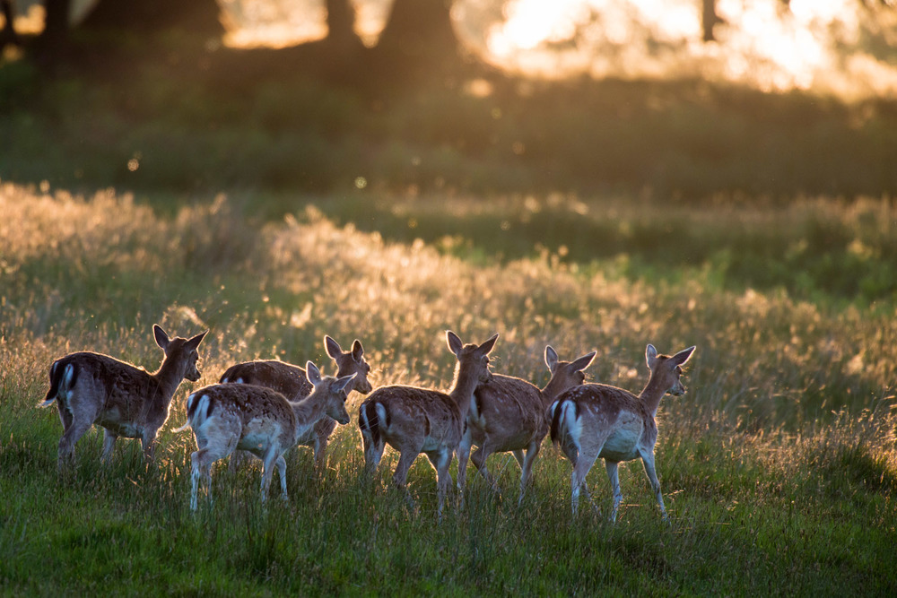 Fallow deer on the move at sunset, Ashdown Forest, Sussex Weald, England