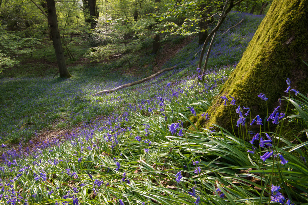 Bluebells in oak woods, Ashdown Forest, Sussex Weald, England