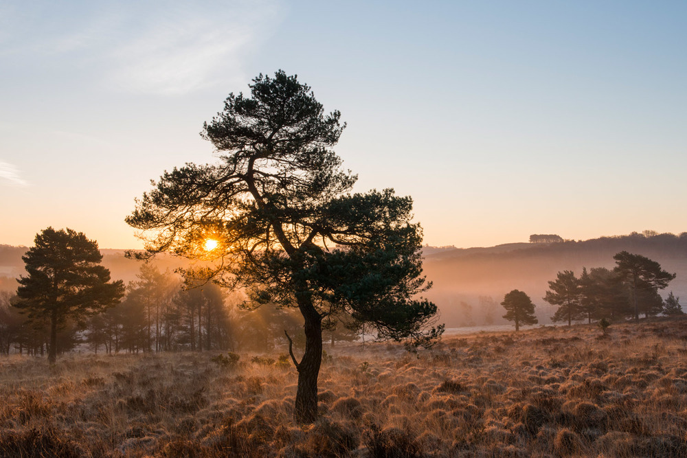 Scots pines and heathland at dawn, Ashdown Forest, Sussex Weald, England