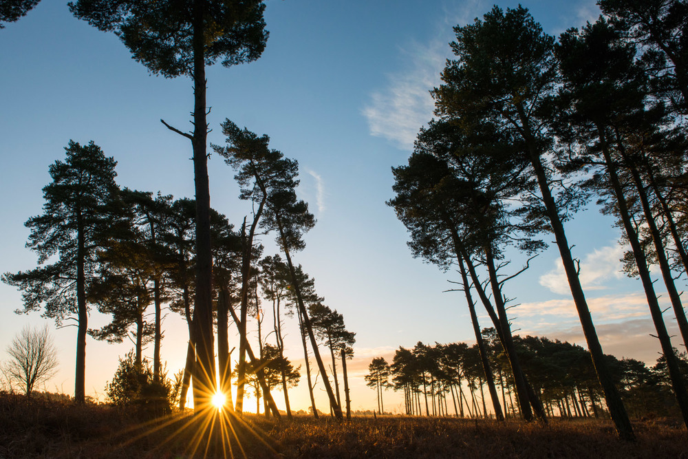 Stands of Scots pines at sunrise, Ashdown Forest, Sussex Weald, England